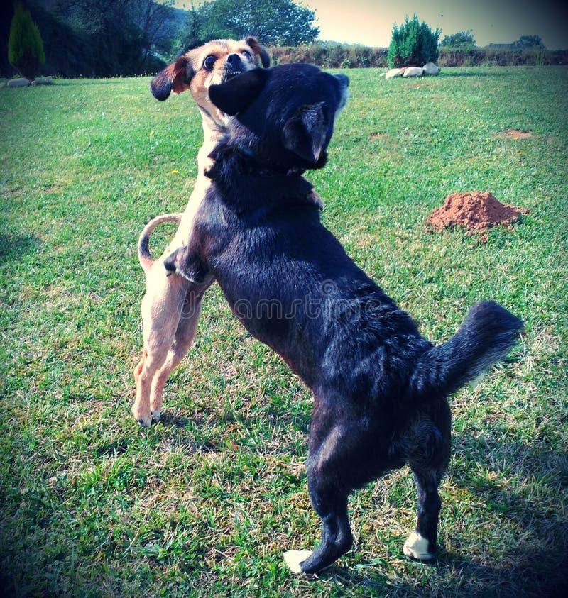 Σκυλί bitting αυτί του φίλου της στοκ εικόνα με δικαίωμα ελεύθερης χρήσης