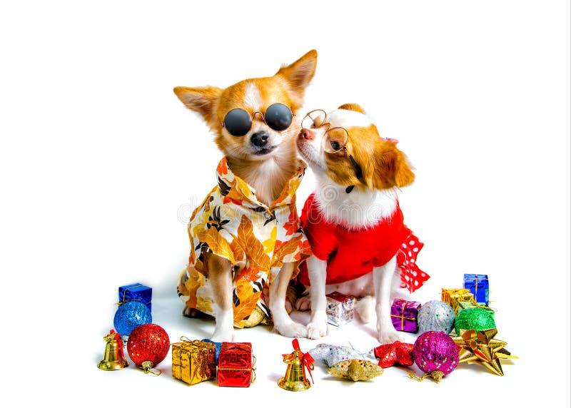Σκυλί Chihuahua, εορταστική ατμόσφαιρα στοκ εικόνα με δικαίωμα ελεύθερης χρήσης