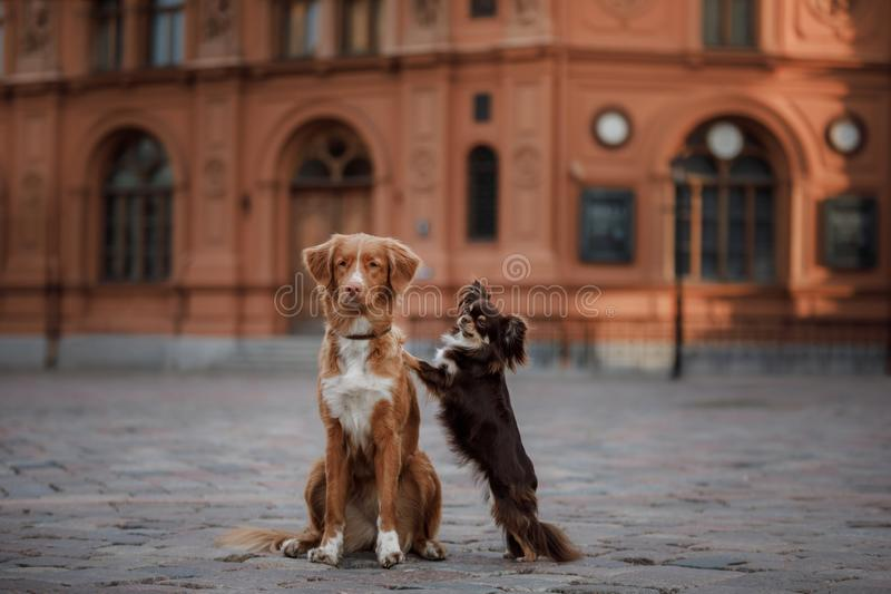 Σκυλί Chihuahua και Retriever διοδίων παπιών της Νέας Σκοτίας στην παλαιά πόλη στοκ εικόνες με δικαίωμα ελεύθερης χρήσης