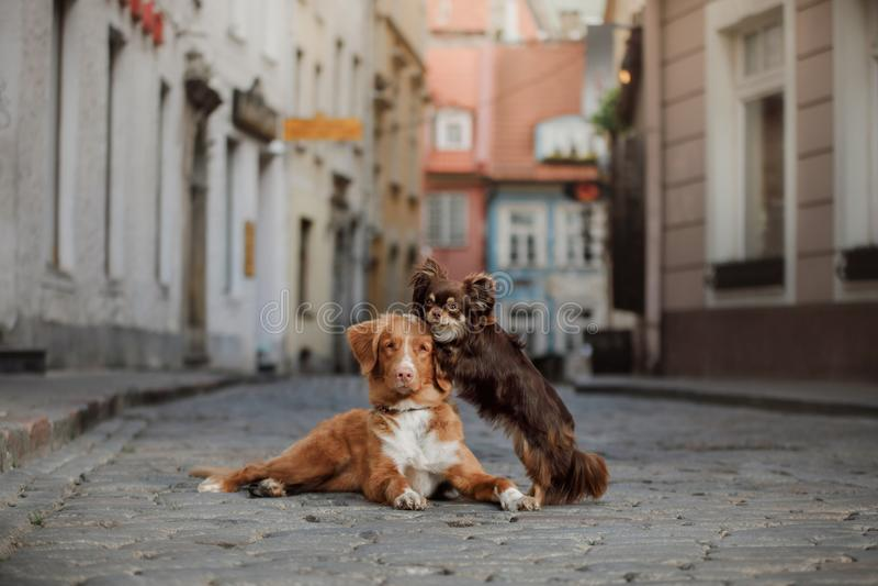 Σκυλί Chihuahua και Retriever διοδίων παπιών της Νέας Σκοτίας στην παλαιά πόλη στοκ εικόνα
