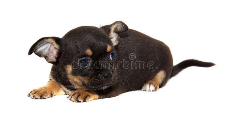 σκυλί chihuahua που απομονώνετα& στοκ φωτογραφία με δικαίωμα ελεύθερης χρήσης