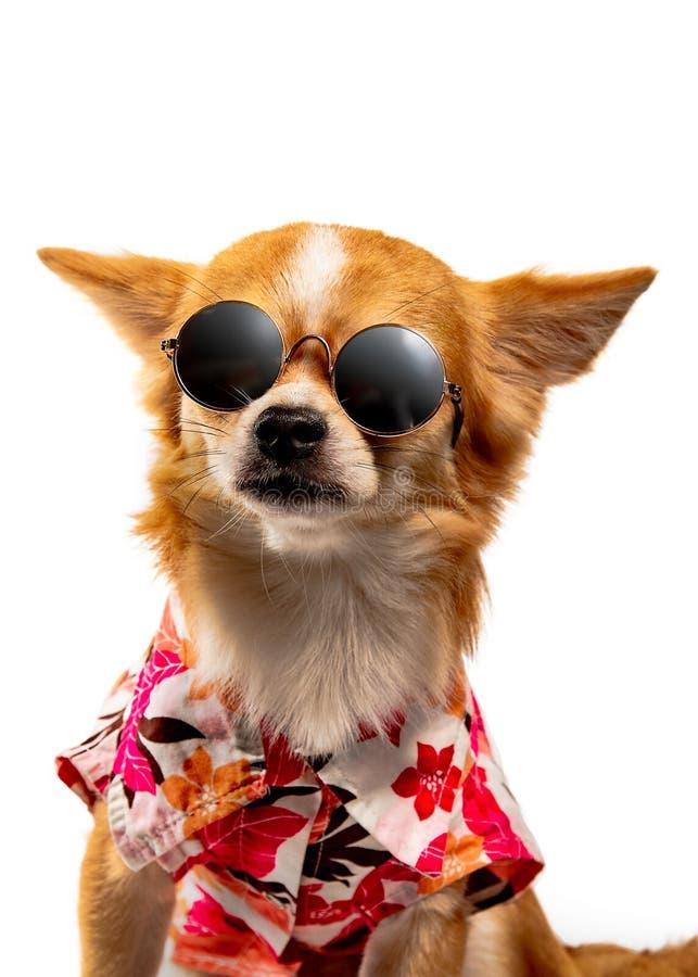 Σκυλί Chihuahua στοκ φωτογραφία με δικαίωμα ελεύθερης χρήσης