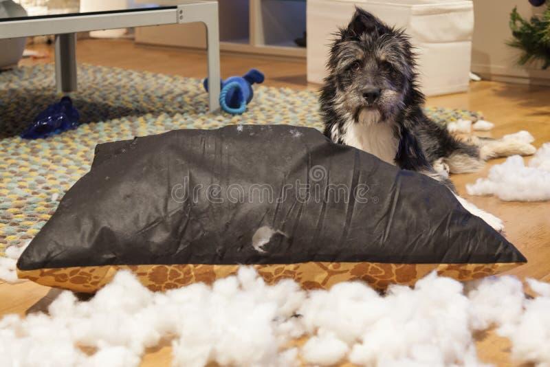 Σκυλί Cutie με το σχισμένο επάνω μαξιλάρι στοκ φωτογραφίες
