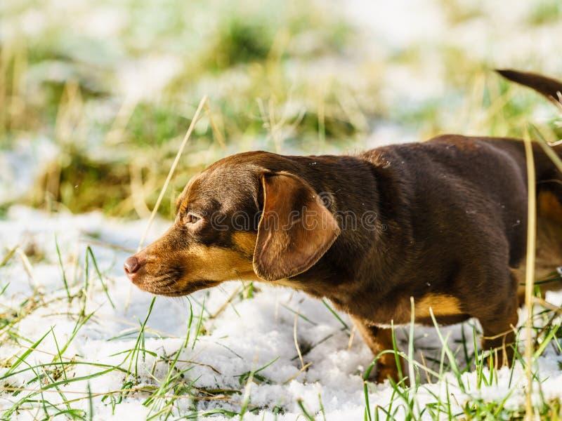 Σκυλί Dachshund στο χιόνι στοκ εικόνα με δικαίωμα ελεύθερης χρήσης