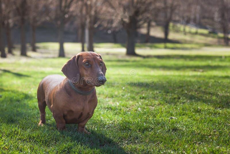 Σκυλί dachshund του καφετιού χρώματος στοκ εικόνες με δικαίωμα ελεύθερης χρήσης