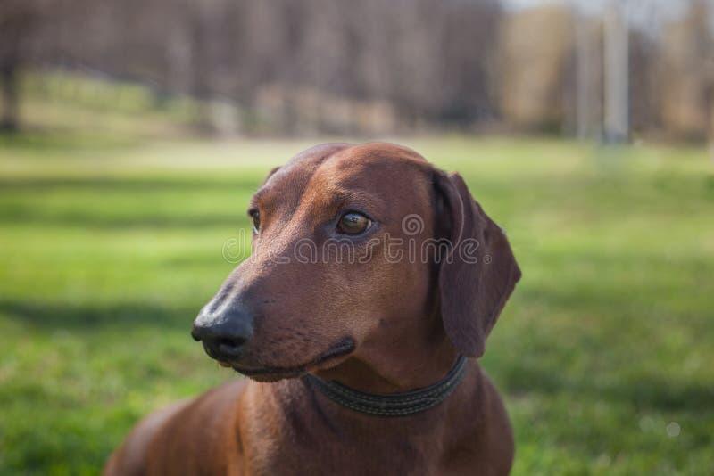Σκυλί dachshund του καφετιού χρώματος στοκ εικόνες