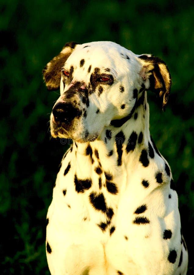 σκυλί dalmation στοκ φωτογραφία με δικαίωμα ελεύθερης χρήσης