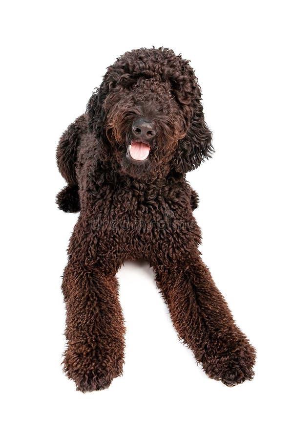 σκυλί doodle κάτω από τη χρυσή το&pi στοκ φωτογραφία με δικαίωμα ελεύθερης χρήσης