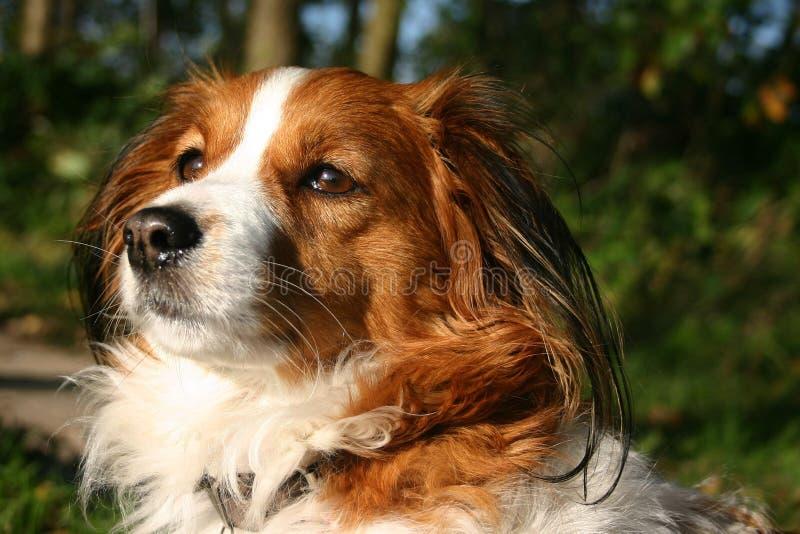 σκυλί kooijker που κάτι στοκ εικόνες με δικαίωμα ελεύθερης χρήσης