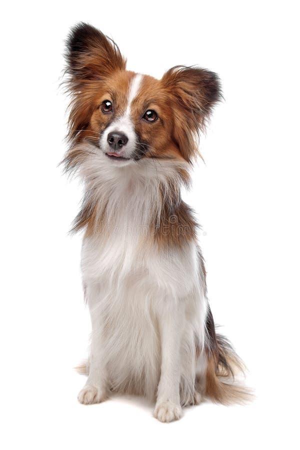σκυλί papillon στοκ εικόνα με δικαίωμα ελεύθερης χρήσης