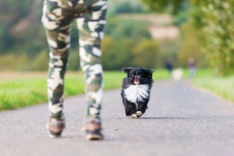 Σκυλί Pekinese που πλησιάζει σε ένα πρόσωπο στοκ εικόνα