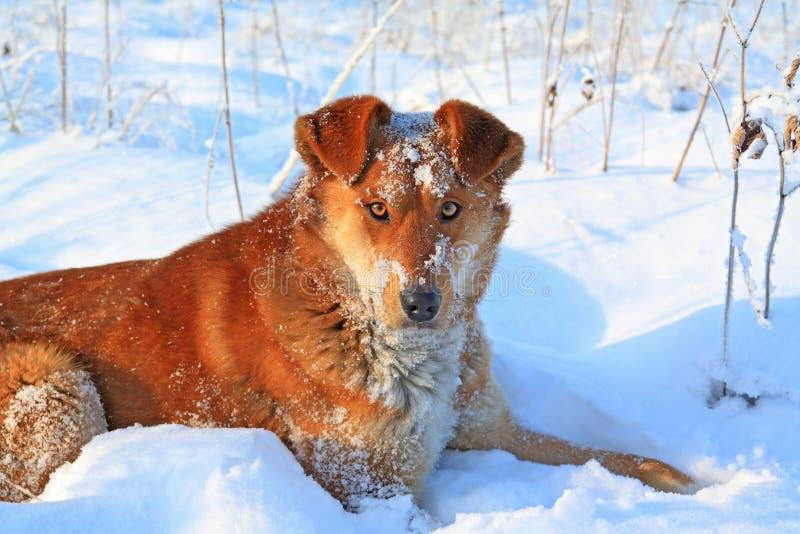 σκυλί redhead στοκ εικόνες
