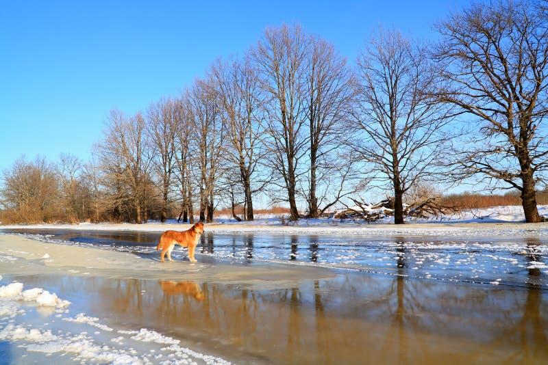 σκυλί redhead στοκ εικόνες με δικαίωμα ελεύθερης χρήσης