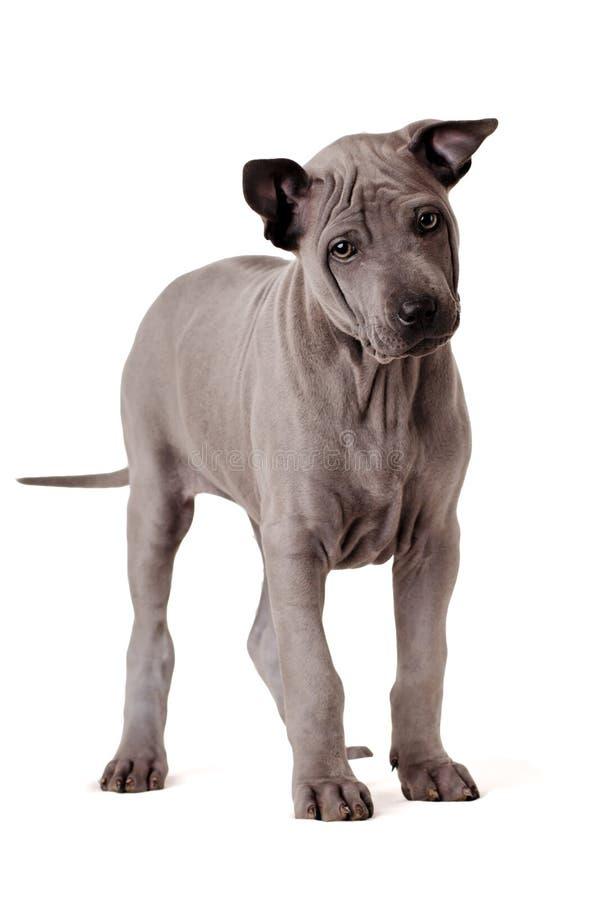 σκυλί ridgeback roxy Ταϊλανδός στοκ εικόνα με δικαίωμα ελεύθερης χρήσης