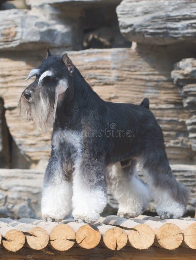 σκυλί schnauzer στοκ φωτογραφία