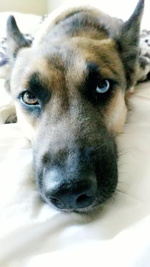 Σκυλί selfie στοκ εικόνες με δικαίωμα ελεύθερης χρήσης