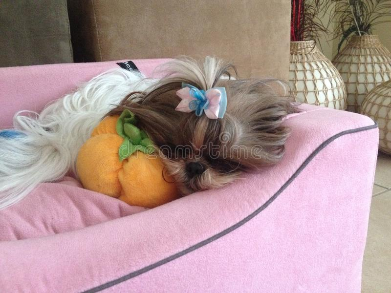 Σκυλί Shi Tzu ύπνου στοκ φωτογραφία με δικαίωμα ελεύθερης χρήσης