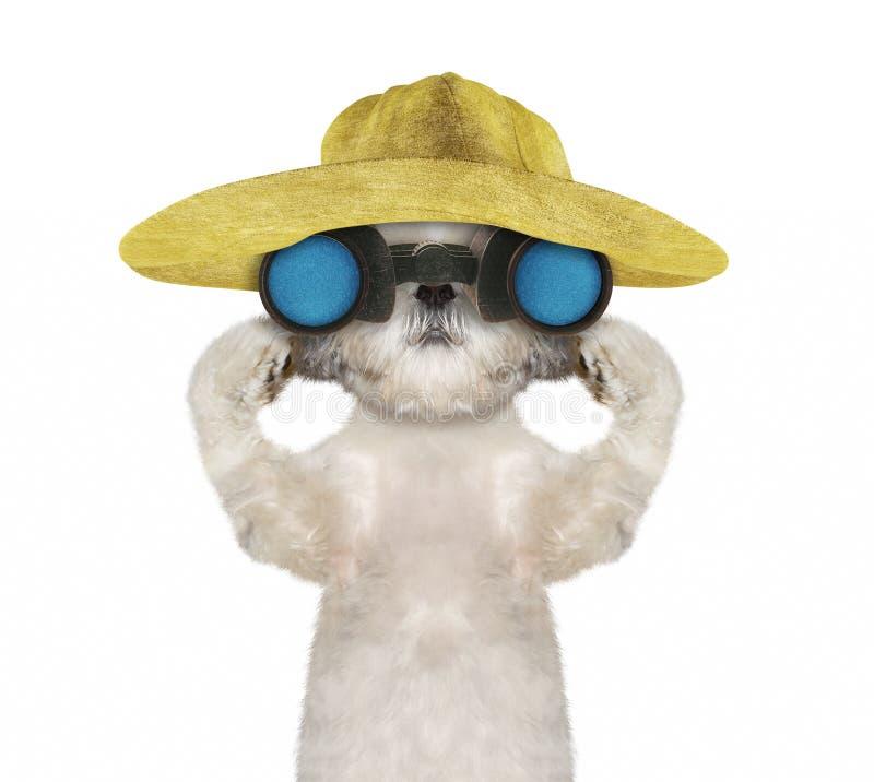 Σκυλί Shitzu σε ένα καπέλο που κοιτάζει και που παρατηρεί με τις διόπτρες -- απομονωμένος στο λευκό στοκ φωτογραφία με δικαίωμα ελεύθερης χρήσης
