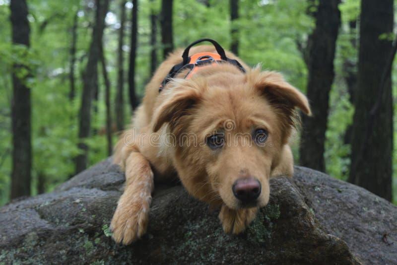Σκυλί Toller που βάζει σε έναν βράχο στα ξύλα στοκ εικόνες