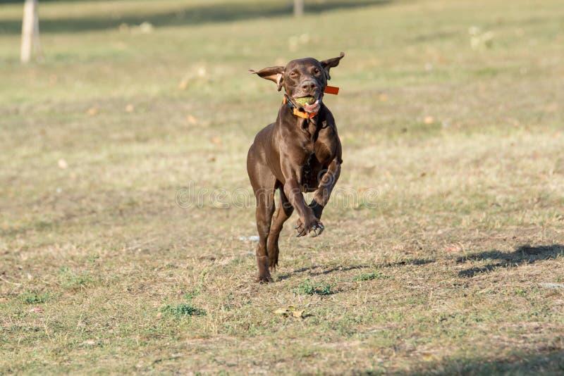 Σκυλί Weimaraner που τρέχει έξω στο πάρκο Εκλεκτική εστίαση στοκ εικόνες