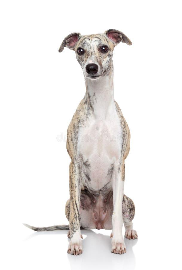Σκυλί Whippet στην άσπρη ανασκόπηση στοκ εικόνα