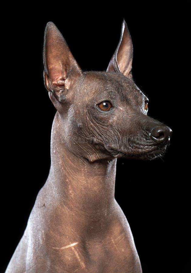 Σκυλί Xoloitzcuintle που απομονώνεται στο μαύρο υπόβαθρο στοκ φωτογραφία
