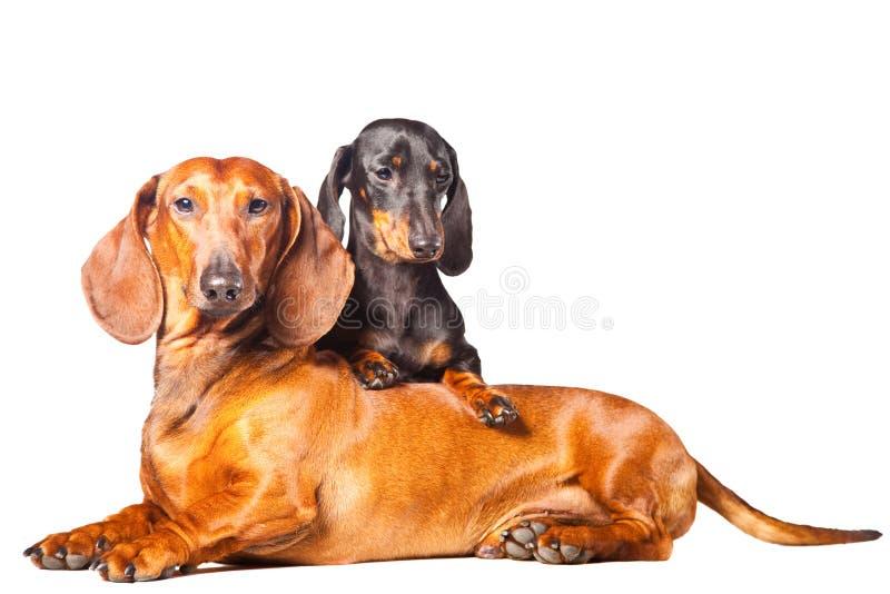 σκυλιά ανασκόπησης dachshund που απομονώνονται τοποθέτηση του λευκού στοκ φωτογραφία