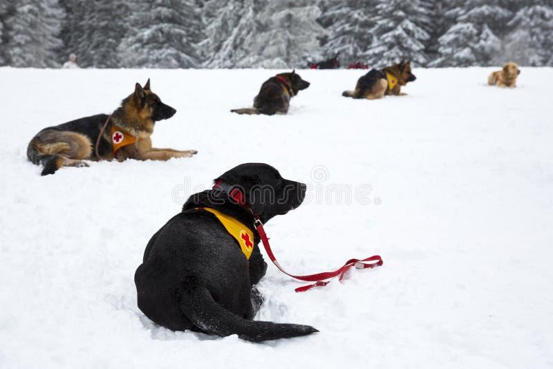 Σκυλιά διάσωσης Ερυθρών Σταυρών στοκ φωτογραφία με δικαίωμα ελεύθερης χρήσης