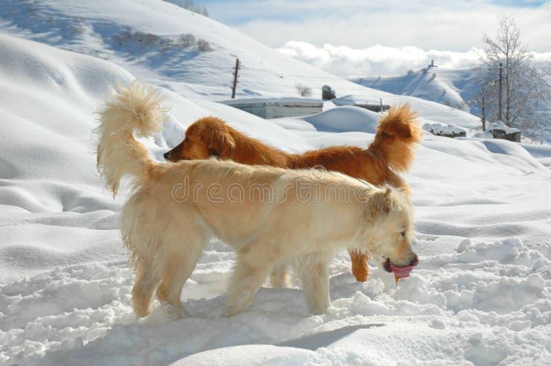 σκυλιά δύο στοκ εικόνα