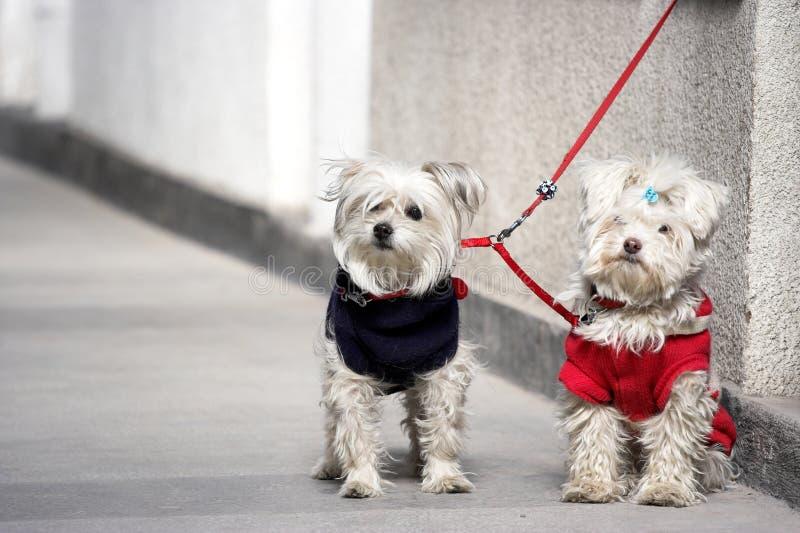 σκυλιά ζευγών στοκ εικόνες με δικαίωμα ελεύθερης χρήσης