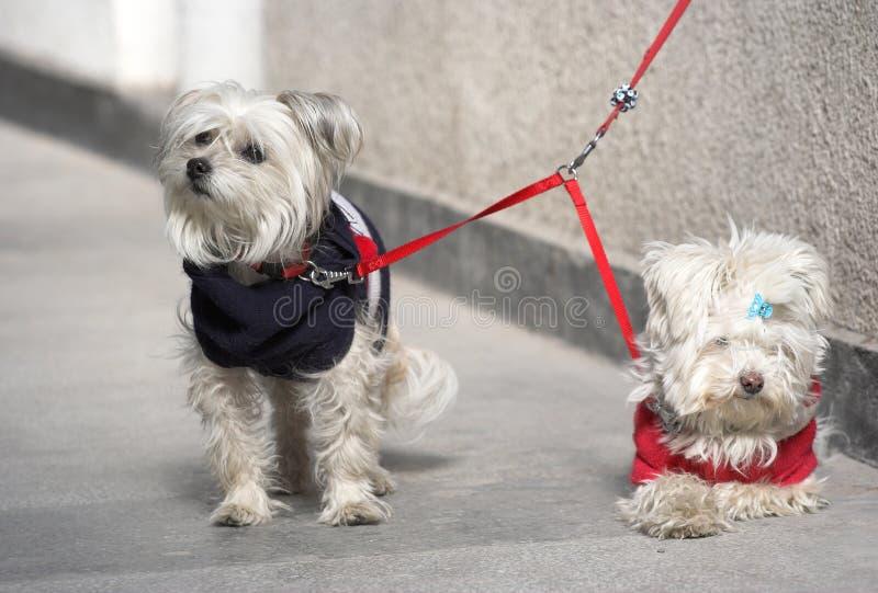 σκυλιά ζευγών στοκ φωτογραφία με δικαίωμα ελεύθερης χρήσης