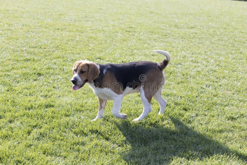 Σκυλιά λαγωνικών στοκ εικόνες