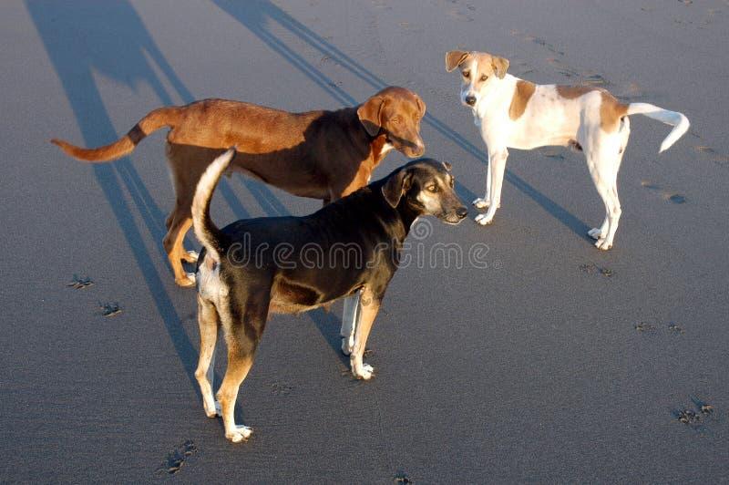 Download σκυλιά Μεξικό τρία στοκ εικόνες. εικόνα από μαύρα, άμμος - 2227436