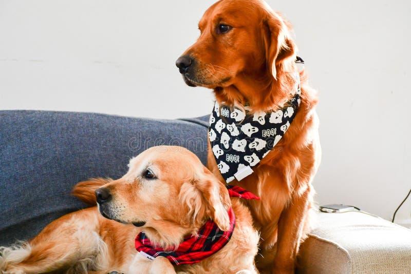 Σκυλιά μόδας στο σπίτι στοκ φωτογραφία με δικαίωμα ελεύθερης χρήσης