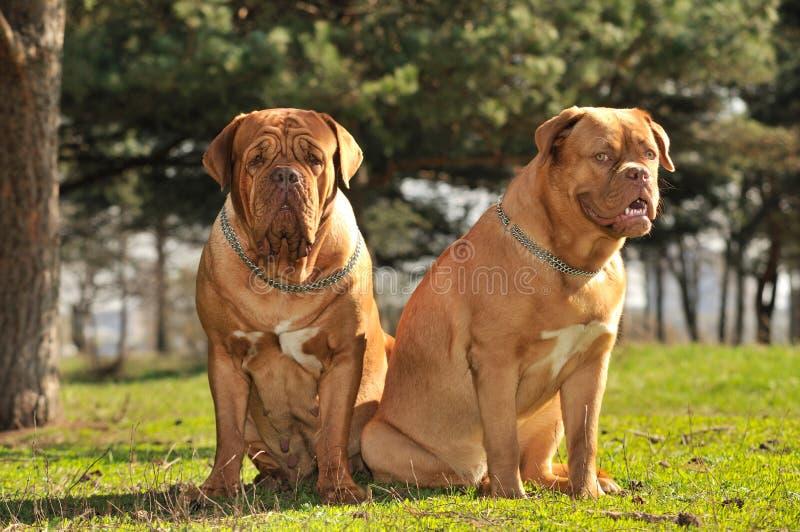 σκυλιά που κάθονται δύο στοκ εικόνες