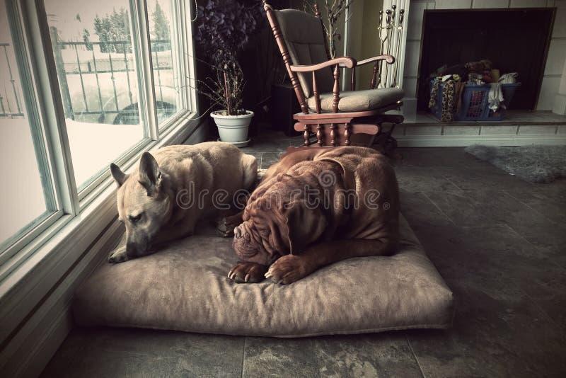 Σκυλιά που κοιμούνται μαζί στο κρεβάτι τους στοκ φωτογραφία με δικαίωμα ελεύθερης χρήσης