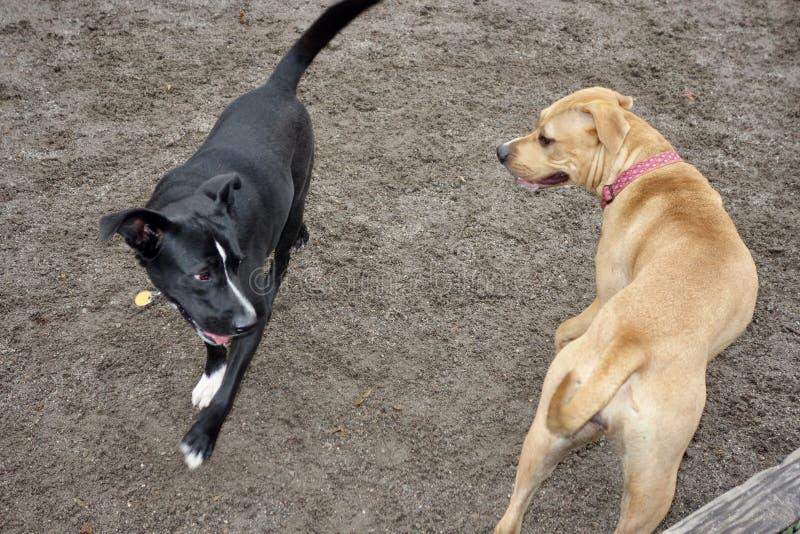 Σκυλιά που παίζουν, ένα μαύρο ένα μαύρισμα στοκ εικόνες