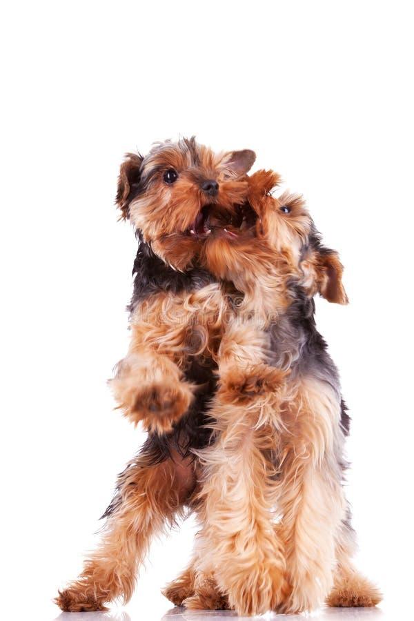 σκυλιά που παίζουν το τεριέ δύο κουταβιών Γιορκσάιρ στοκ εικόνα