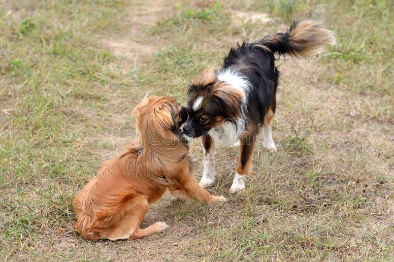 σκυλιά που συναντούν δύο στοκ φωτογραφία