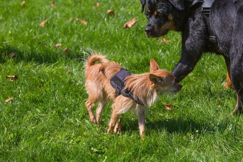 σκυλιά που συναντούν δύο στοκ εικόνα με δικαίωμα ελεύθερης χρήσης