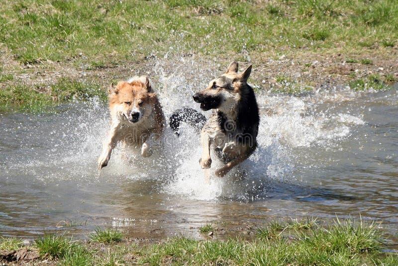 σκυλιά που τρέχουν την πλ&e στοκ φωτογραφία