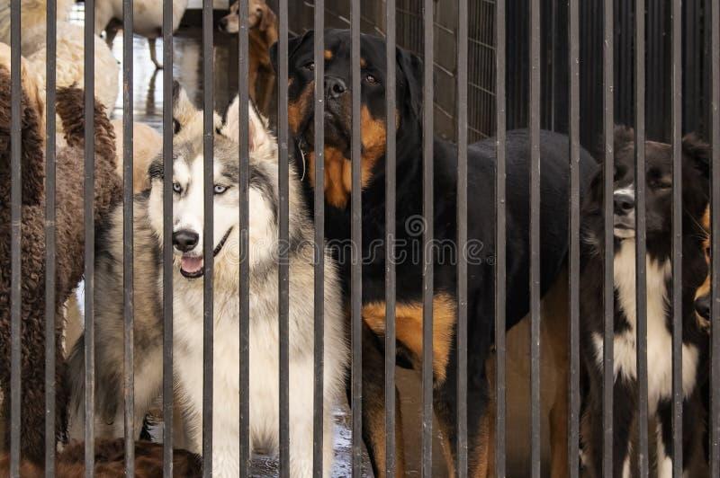 Σκυλιά σε ένα κλουβί - συμπεριλαμβανομένου ενός Σιβηριανού γεροδεμένου με τα μπλε μάτια που εξετάζουν μελαγχολικά έξω από πίσω απ στοκ εικόνες