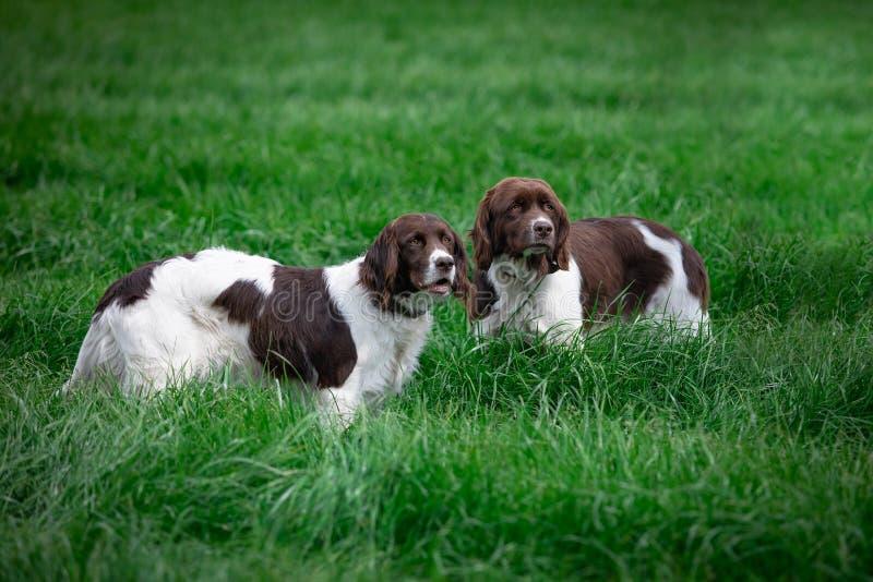 σκυλιά στο λιβάδι που προσέχει κάτι στην απόσταση στοκ φωτογραφία