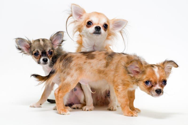 σκυλιά τρία chihuahua διασταύρωσ&et στοκ φωτογραφία με δικαίωμα ελεύθερης χρήσης