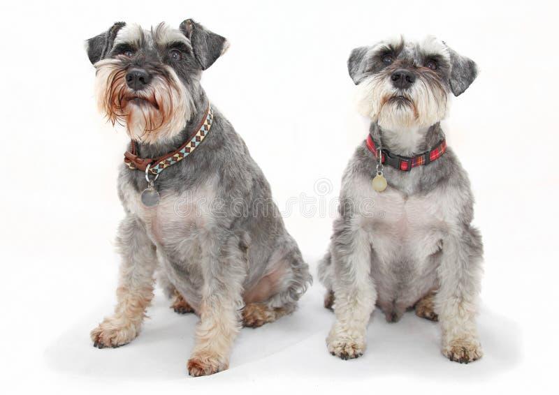 σκυλιά schnauzer στοκ φωτογραφίες