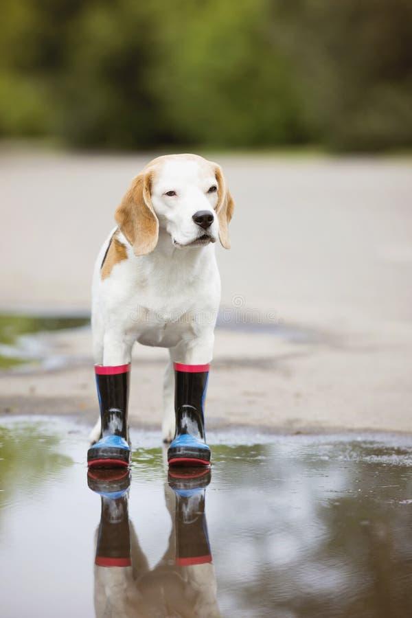 Σκυλί λαγωνικών στις μπότες βροχής στοκ εικόνες με δικαίωμα ελεύθερης χρήσης