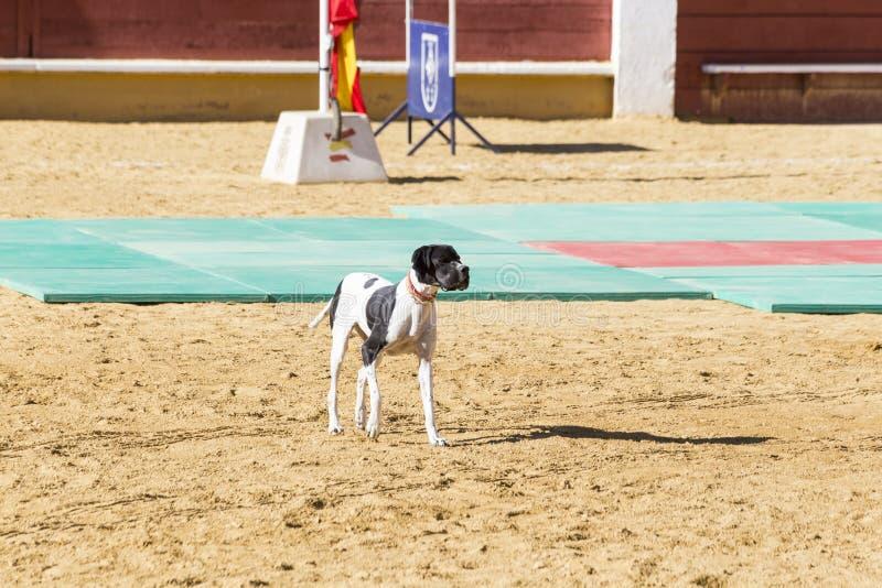 Σκυλί αστυνομίας που εκπαιδεύεται σε μια έκθεση της εργασίας του στοκ εικόνα