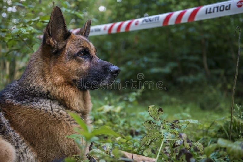 Σκυλί αστυνομίας σε μια σκηνή εγκλήματος στοκ εικόνες