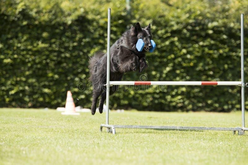 Σκυλί, βελγικός ποιμένας Groenendael, υπακοή που πηδά με το dumbbe στοκ φωτογραφίες