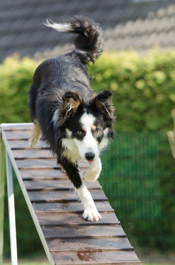 Σκυλί ευκινησίας στοκ εικόνα με δικαίωμα ελεύθερης χρήσης